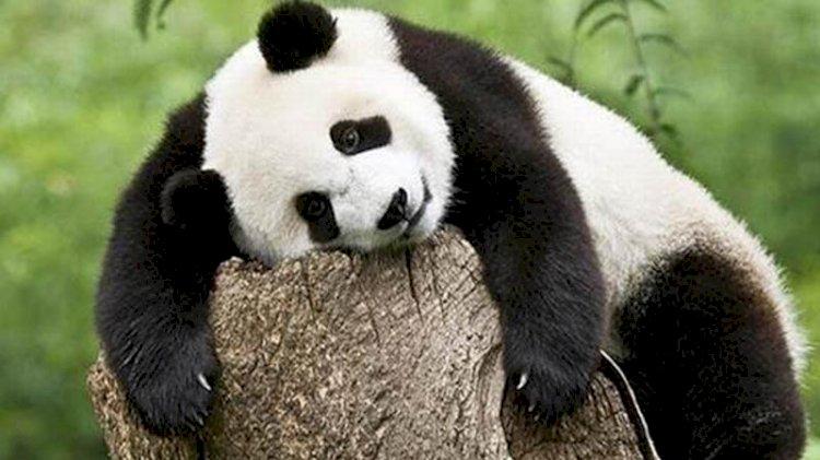 Soyları tükenmekte olan pandaların koruma alanları nedeniyle başka hayvan türlerinin soyu tehlikeye girdi