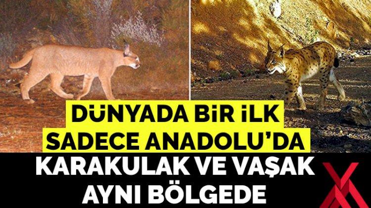 Dünyada bir ilk; karakulak ve vaşak Anadolu'da aynı bölgede