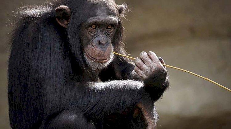 Maymunlar için referanduma gidiyorlar... Tarihte bir ilk olacak