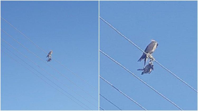 Vicdansızlığın böylesi: Şahin'in ayaklarına kuş ölüsü bağlayıp başına maske taktılar