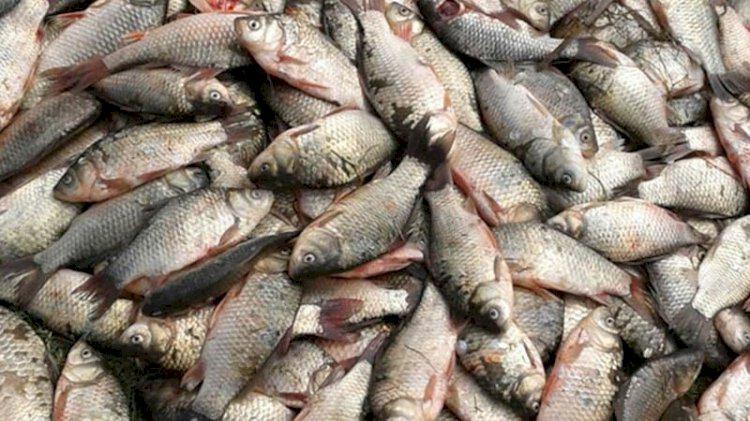 Nehirlerimizde büyük tehtid: Balıkların neslini tüketiyor