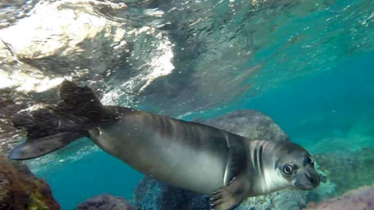 Kalkan'da dalgıçlar üç adet Akdeniz foku ile karşılaştı