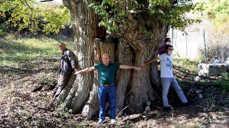 Artvin'de 1500-2 bin yıllık armut ağacı tespit edildi