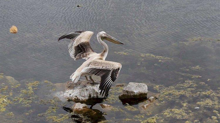 Anadolu Ajansı'ndan 'yalnız pelikan' haberi