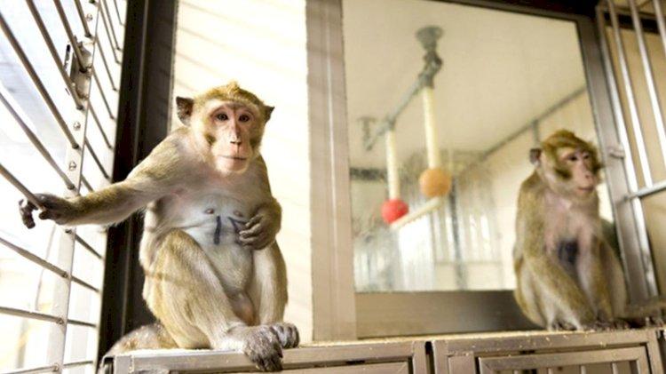Novavax'tan aşı açıklaması: Maymunlar arasında virüsün yayılması engellendi