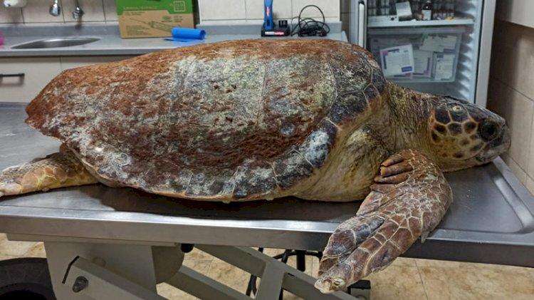 Antalya'da yaralı halde bulunan caretta caretta Muğla'da tedavi ediliyor