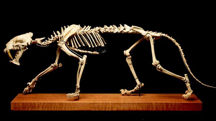 40 milyon yıllık 'kaplan' açık artırmayla satılıyor