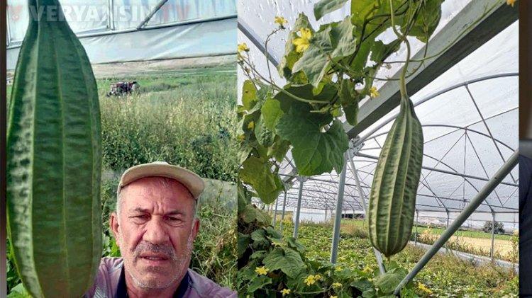 Beypazarılı çiftçi, tarlasında 'tropikal bamya' yetiştirdi