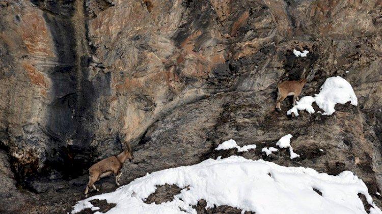Yaban keçilerinin avlanmayacağının açıklanması Tuncelilileri sevindirdi