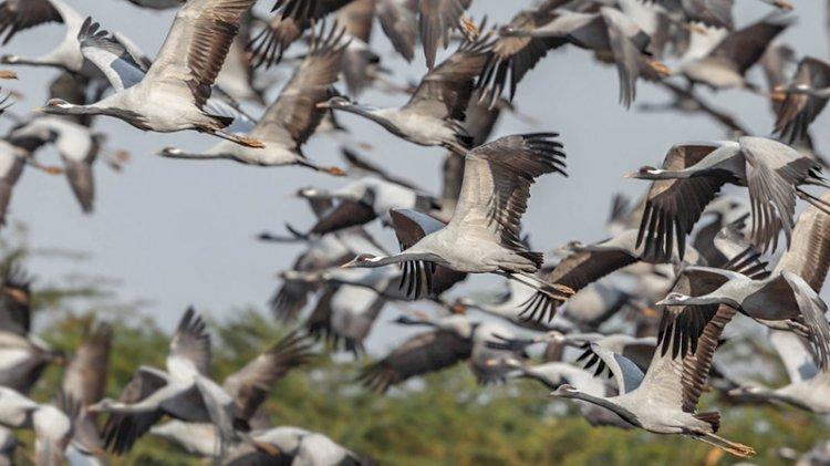 3 önemli kuş türü artık Türkiye'de yuvalamıyor
