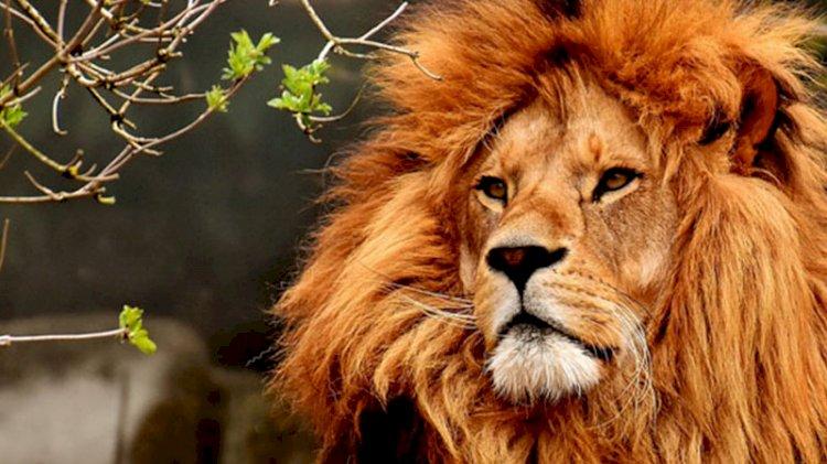 Hayvanat bahçesinde 4 aslan koronavirüse yakalandı