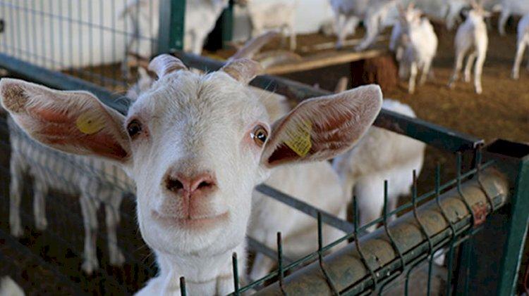 Koronavirüse karşı keçi sütü mucizesi
