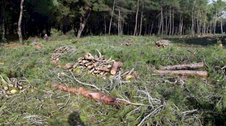 2 bin çam ağacı katledildi