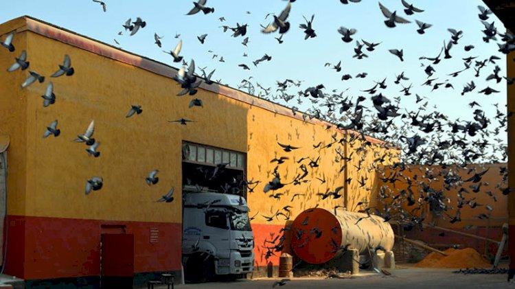 Aç kalan kuşlar, yem fabrikasını mesken tuttu