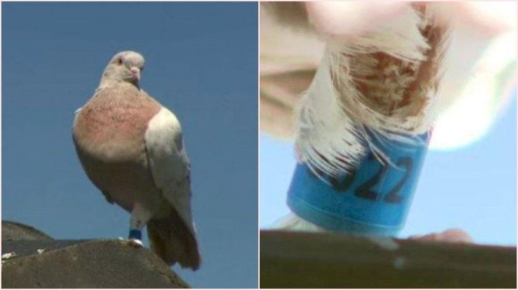 13 bin kilometre uçan yarış güvercini telef edilecek