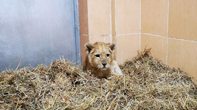 İzmir'de bir çiftlikte 3 yavru aslan ele geçirildi!