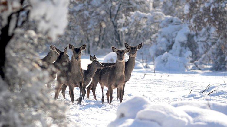 Kızıl geyiklerden karposttalık görüntüler