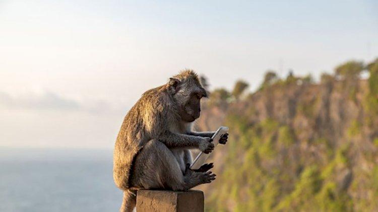 Maymunların kasıtlı olarak turistlerin değerli eşyalarını çaldığı ortaya çıktı