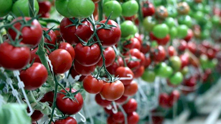 Eksi 40 derecede bile domates üretiyorlar