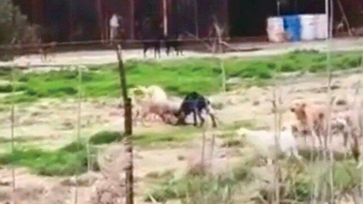 Aç bırakılan köpekler birbirini parçaladı