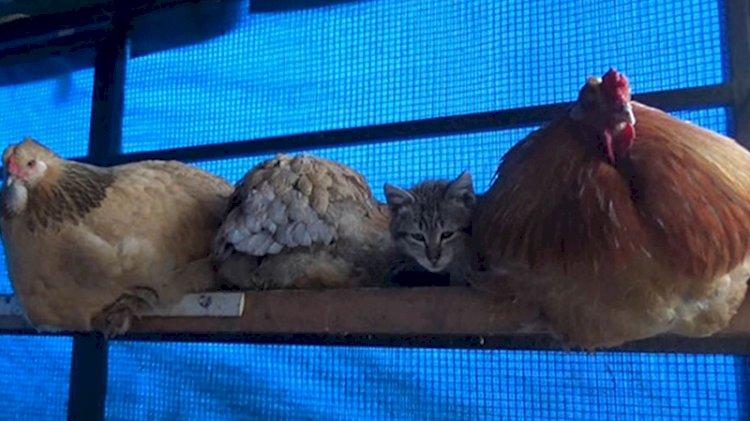 Kümesteki en konforlu yeri keşfeden sevimli kedi gülümsetti