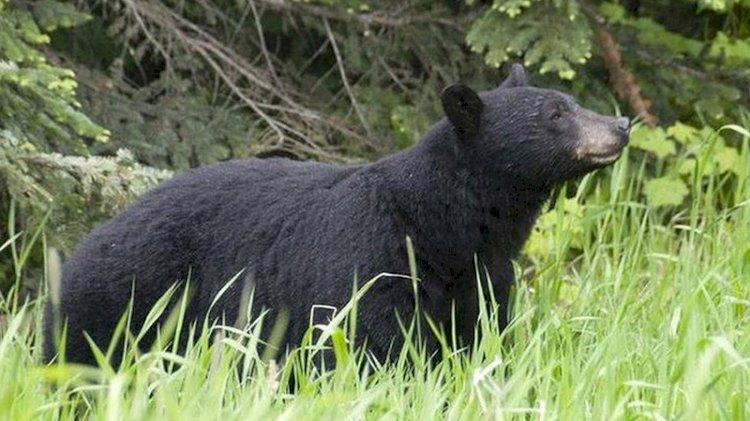 Köpeklerini gezmeye çıkaran kadını ayılar yedi