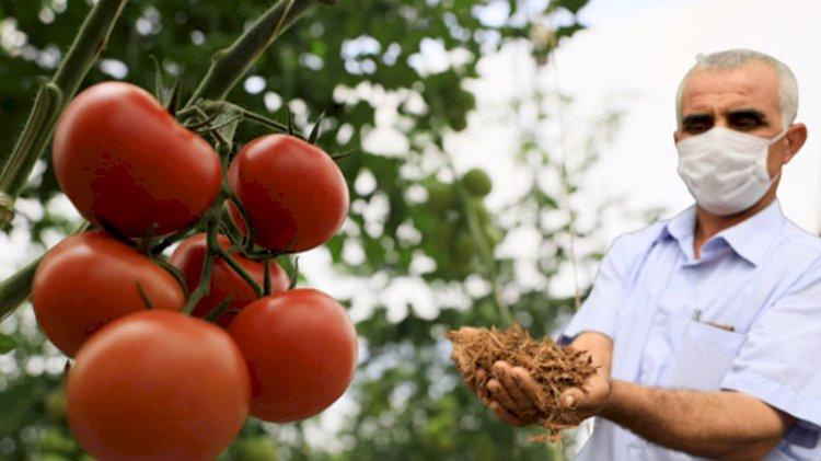Kısıtlamada hindistan cevizi kabuğundan domates üretiyor