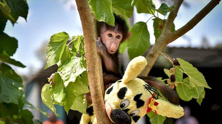 Annesinin reddettiği yavru maymun hayata tutunmaya çalışıyor