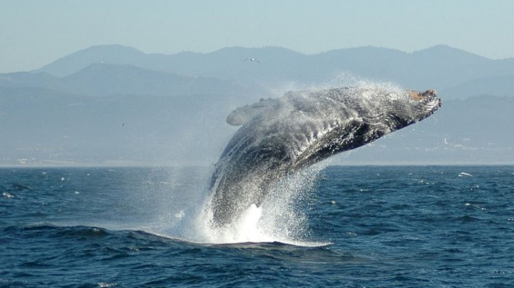 Önce balina tarafından yutuldu, sonra kusulunca hayata tutundu