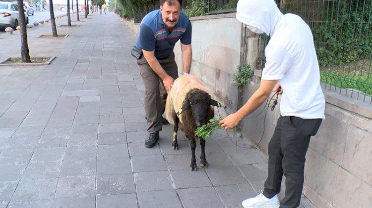 İnatçı kurbanlık koyun 3.5 saat yerinde bekledi