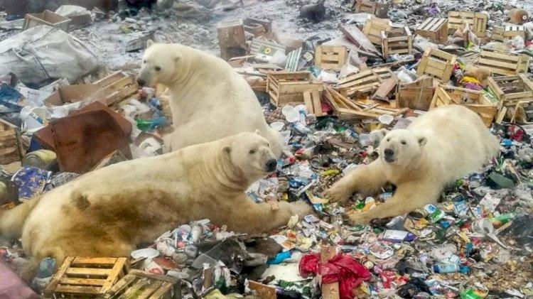 Danimarkalı yetkililerden tepki çeken karar: Kutup ayısını vurabiliriz