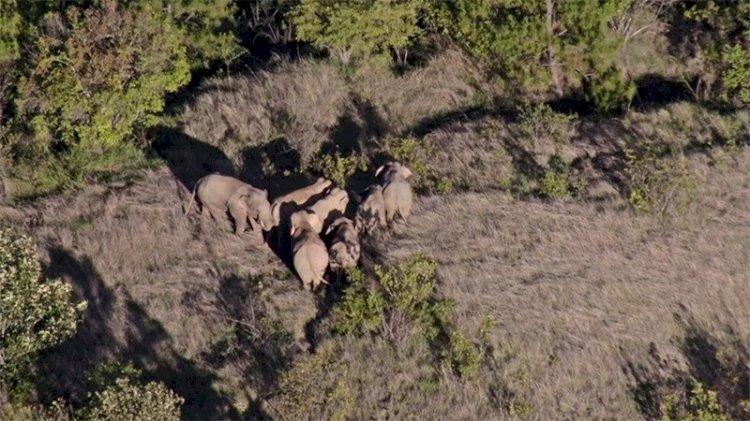 Çin'in gezgin fil sürüsü 17 ay sonra doğal yaşam alanına geri dönüyor