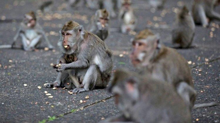 Maymunlar aç kalınca evleri yağmaladı