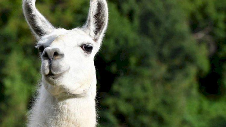 Koronavirüs tedavisinde 'lama' umudu: Burun spreyi olarak kullanılacak